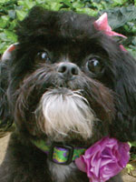 Photo of Annie Pet Therapy Dog.