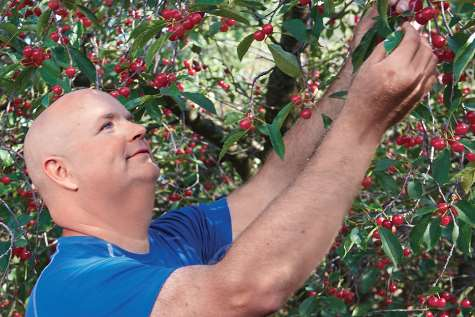 Photo of Joe picking fruit from a cherry tree.