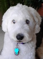 Photo of Lyric Pet Therapy Dog